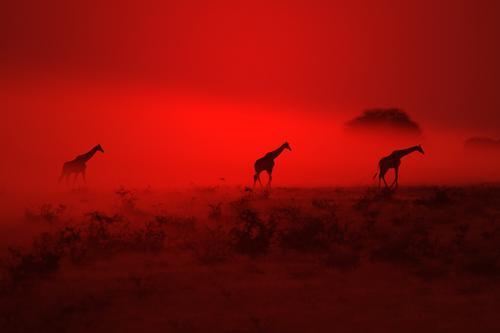Giraffen-Silhouette - Wundern durch Rot elegant Sinnesorgane Erholung ruhig Sommer Umwelt Natur Landschaft Tier Urelemente Erde Luft Himmel Nachthimmel Horizont