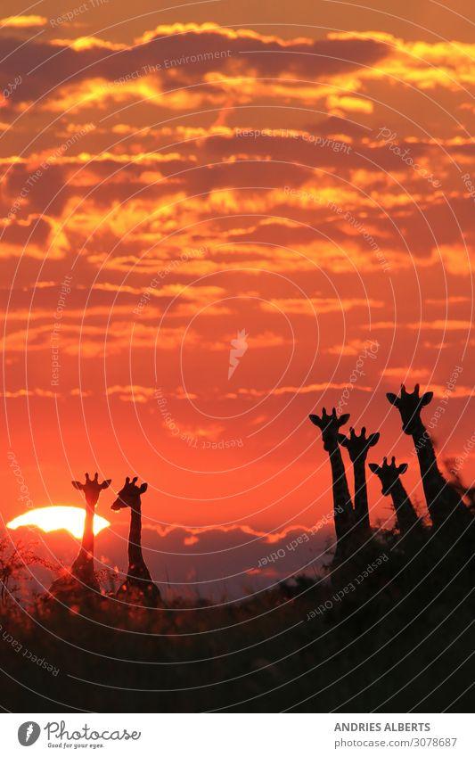 Giraffenmagie - Sonnenuntergangswunder in der Natur Ferien & Urlaub & Reisen Tourismus Abenteuer Ferne Freiheit Sightseeing Safari Expedition Sommer