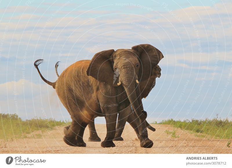 Afrikanischer Elefant - Rüssel und Stoßzähne der Macht harmonisch Erholung ruhig Ferien & Urlaub & Reisen Tourismus Ausflug Abenteuer Freiheit Sightseeing