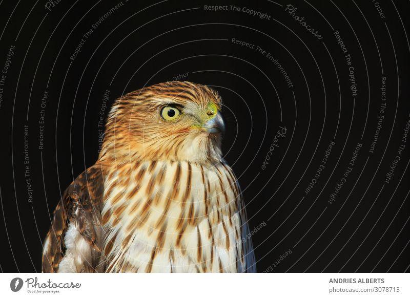 Rotschwanzbussard - Porträt der Macht Leben harmonisch Sinnesorgane ruhig Ferien & Urlaub & Reisen Tourismus Sightseeing Safari Umwelt Natur Tier Schönes Wetter
