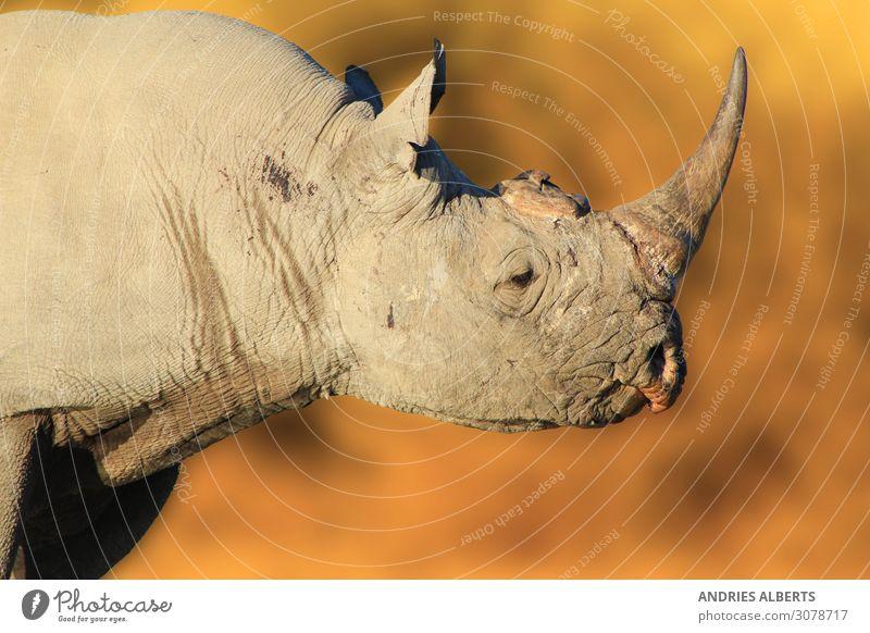 Spitzmaulnashorn - Gefährdetes Kraftpaket aus Afrika Leben Ferien & Urlaub & Reisen Tourismus Ausflug Abenteuer Freiheit Sightseeing Safari Expedition Sommer