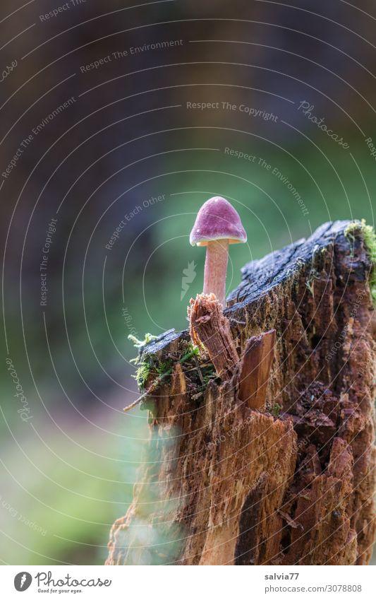 alt| morscher Baumstumpf Natur Vergänglichkeit Pflanze Pilz Wald Schwache Tiefenschärfe Moos wachsen Menschenleer natürlich