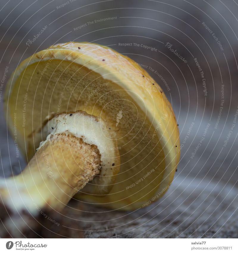 Goldröhrling Umwelt Natur Pflanze Herbst Pilz Pilzhut Wald frisch schleimig gelb Speisepilz Röhrling essbar Farbfoto Außenaufnahme Makroaufnahme Menschenleer