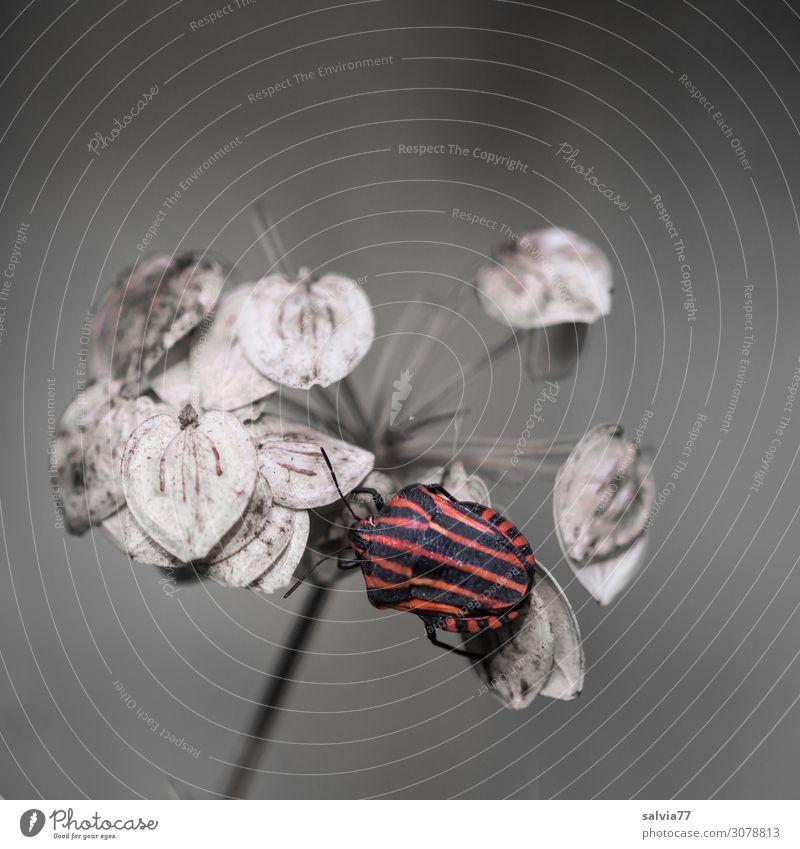 Streifenwanze Umwelt Natur Herbst Pflanze Blüte Samen Bärenklau Doldenblütler Tier Käfer Wanze Insekt 1 krabbeln klein rot schwarz Kontrast Strukturen & Formen