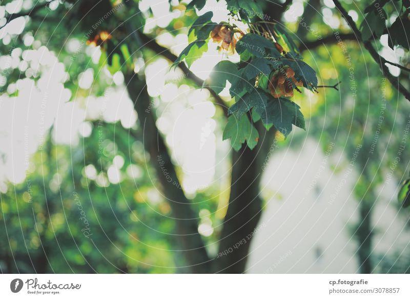 Ahorn No.1 Natur Sommer Pflanze Baum Blatt Wärme hell Ahornblatt