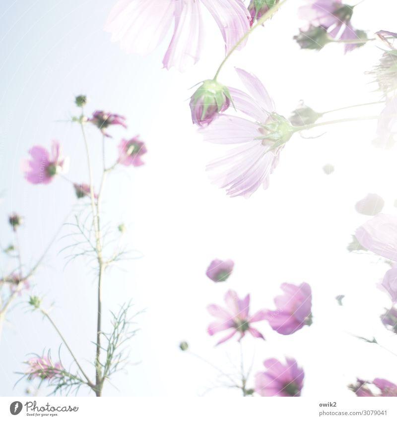 Blumenmuster Natur Pflanze Landschaft Sonne Umwelt Blüte Wiese Garten hell Idylle Wolkenloser Himmel Blütenblatt Schmuckkörbchen