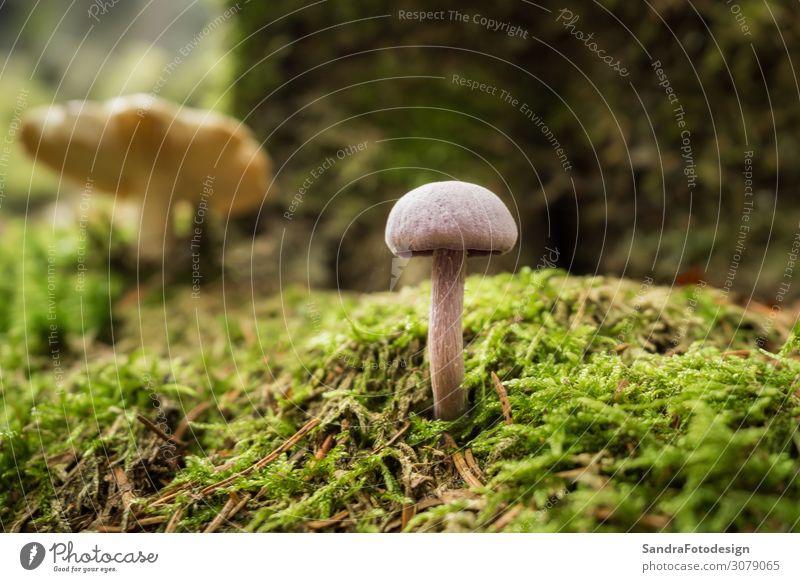 Mushrooms in the forest Erholung wandern Garten Natur Pflanze Wald laufen gelb autumn foliage mushroom ground green brown season fall red Hintergrundbild woods