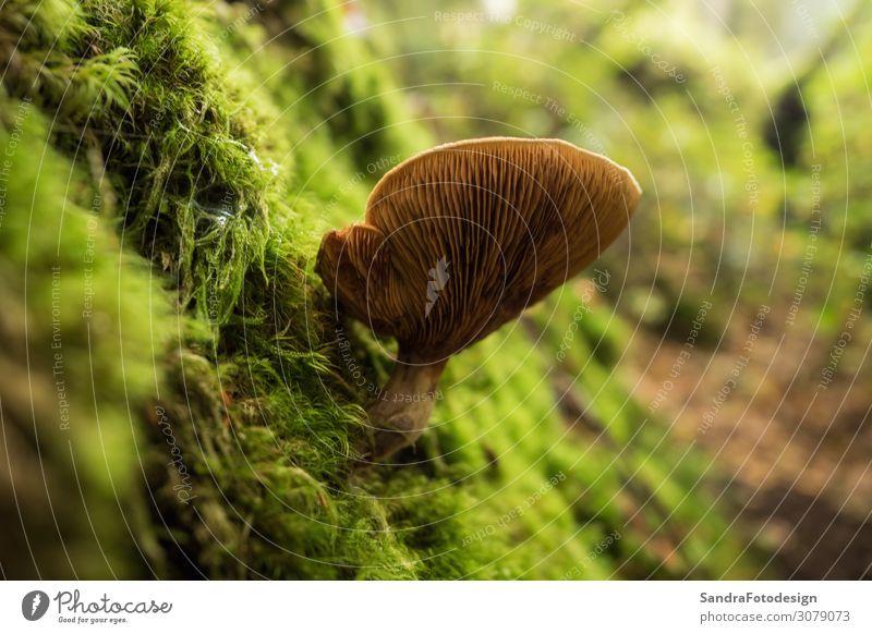 Mushrooms in the forest Erholung wandern Garten Natur Pflanze Wald gelb autumn foliage mushroom ground green brown season fall red Hintergrundbild woods yard