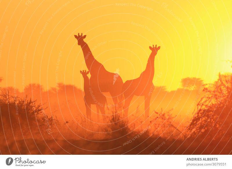 Giraffe Silhouette - Familie der Freiheit Tier Wildtier 3 Tiergruppe Herde Tierjunges Tierfamilie hören authentisch außergewöhnlich Bekanntheit elegant exotisch