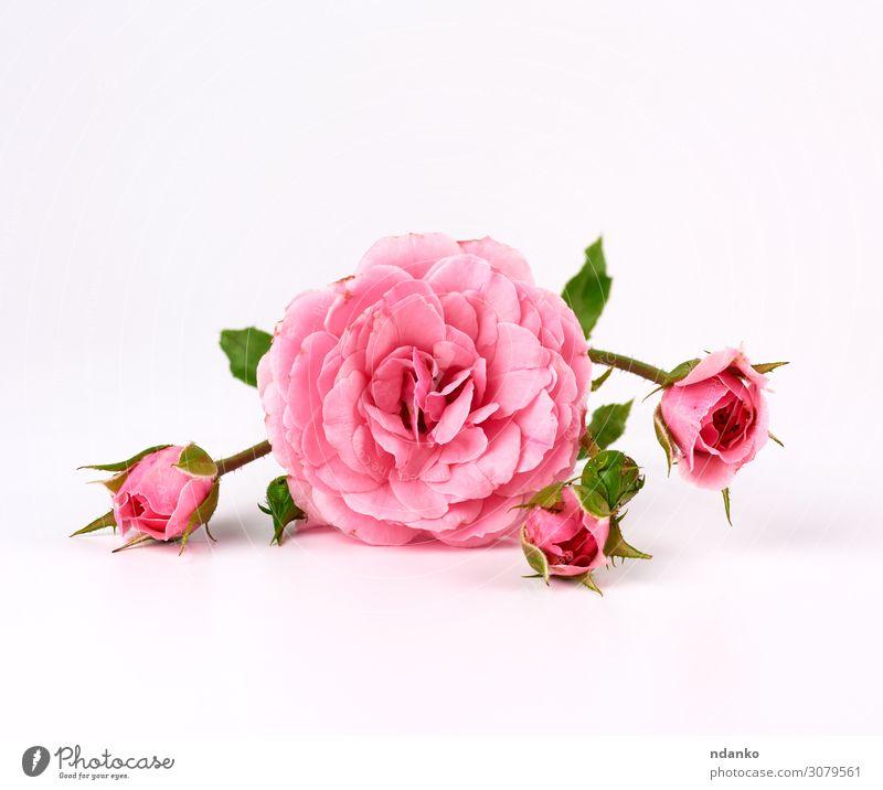 Zweig mit einer Knospe einer blühenden rosa Rose schön Sommer Feste & Feiern Hochzeit Natur Pflanze Blume Blüte Liebe einfach frisch natürlich weich weiß Farbe