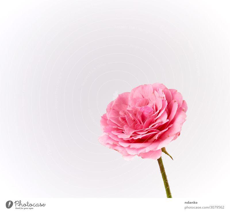 Knospe einer blühenden rosa Rose auf weißem Hintergrund Feste & Feiern Hochzeit Natur Pflanze Blume Blüte Liebe einfach frisch weich Farbe Roséwein Gruß