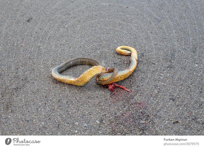 Eine tote Schlange, die auf einer Asphaltstraße zerkleinert wurde. Tier Wildtier Totes Tier 1 schuldig Scham Reue Angst Todesangst Menschenleer Abend