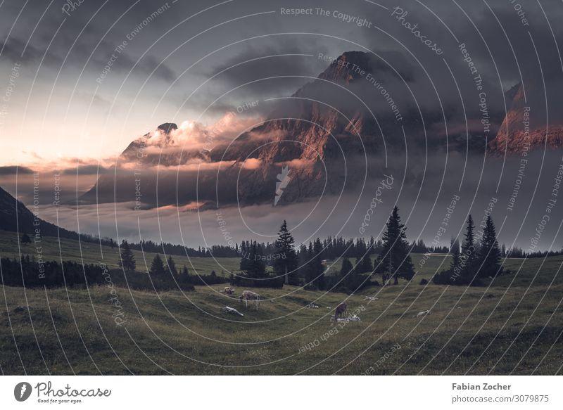 Morgenstimmung in den Alpen Berge u. Gebirge wandern Natur Landschaft Wolken Sonnenaufgang Sonnenuntergang Sommer Nebel Baum Gipfel Rind Tiergruppe elegant