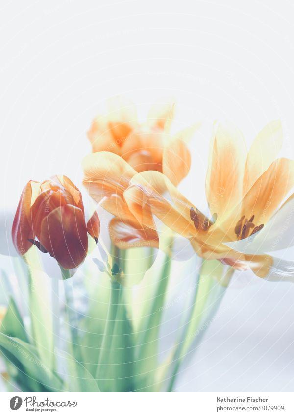Tulpen Doppelbelichtung Natur Sommer Pflanze grün weiß rot Blume Winter Herbst gelb Frühling orange rosa Dekoration & Verzierung leuchten Blühend