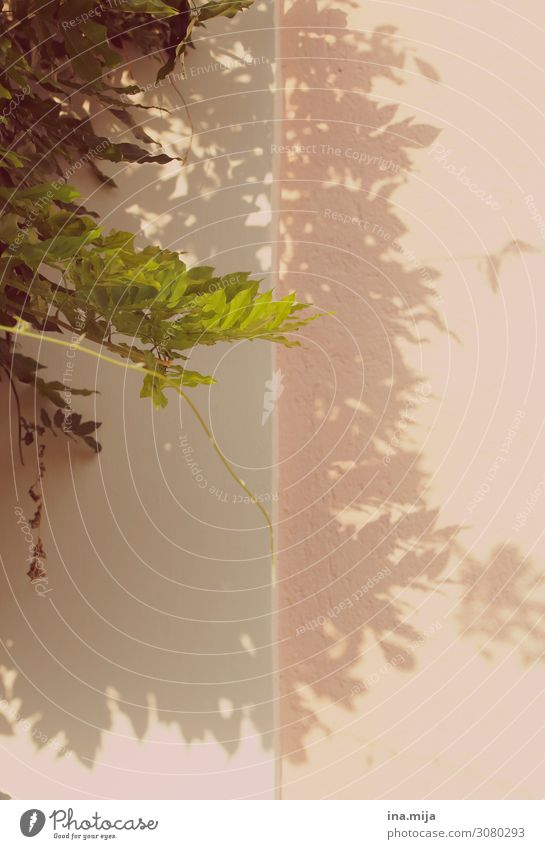 Schattenpflanze Haus Mauer Wand Fassade grün rosa Schattenspiel Schattenseite Farbfoto Gedeckte Farben Außenaufnahme Textfreiraum links Textfreiraum rechts