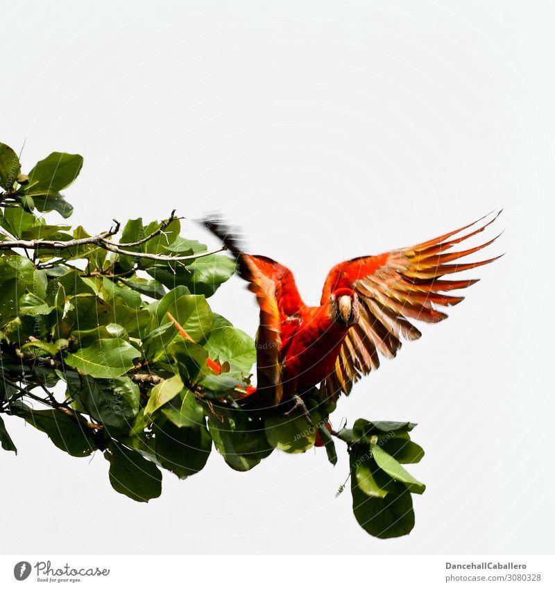 ara macao... Natur Tier Baum Vogel Flügel Ara Papageienvogel 1 fliegen frei Neugier schön mehrfarbig rot Tierliebe Durchstarter Abheben Ast Farbfoto