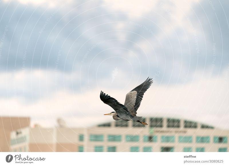 Graureiher Wolken Tier Gebäude fliegen Wildtier Flügel Reiher