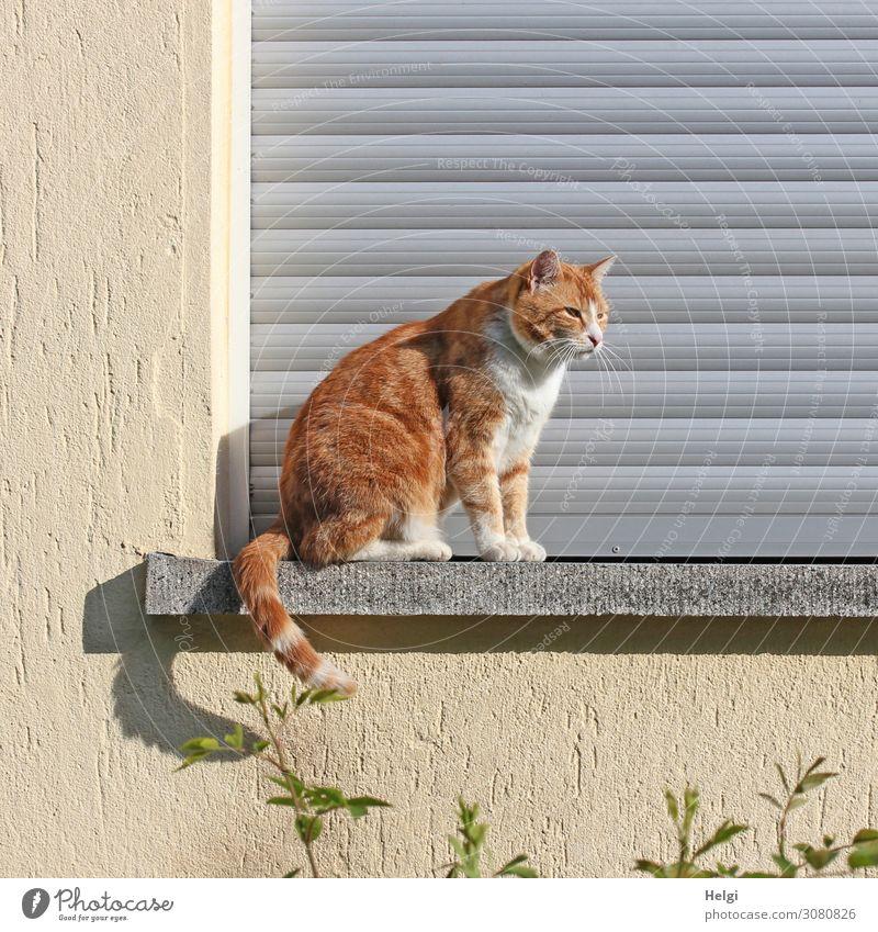 rot-getigerte Katze sitzt im Sonnenschein draußen auf einer Fensterbank Pflanze Kleinstadt Haus Mauer Wand Jalousie Fensterbrett Tier Haustier 1 genießen Blick