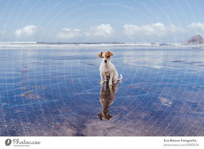 süßer kleiner Jack-Russell-Terrier-Hund am Strand, der in die Kamera schaut. Reflexion über das Wassermeer. Haustiere im Freien und Lebensweise. Sommer-Konzept
