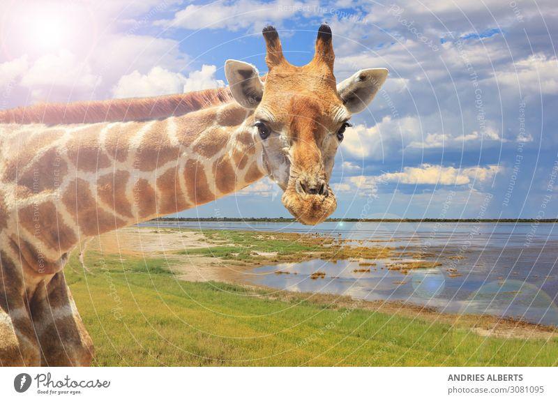 Giraffenporträt - Hell aussehend Leben Ferien & Urlaub & Reisen Tourismus Ausflug Abenteuer Ferne Freiheit Sightseeing Safari Umwelt Natur Landschaft Tier