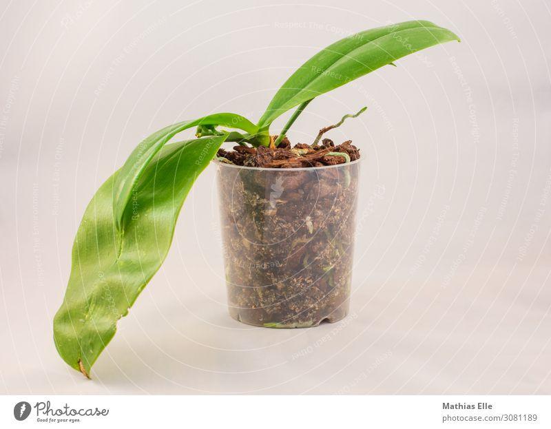 Phalaenopsis im Wachstum Dekoration & Verzierung Pflanze Blume Orchidee Blatt Grünpflanze Topfpflanze Wurzel Wurzelbildung Orchideenblüte Kunststoff exotisch