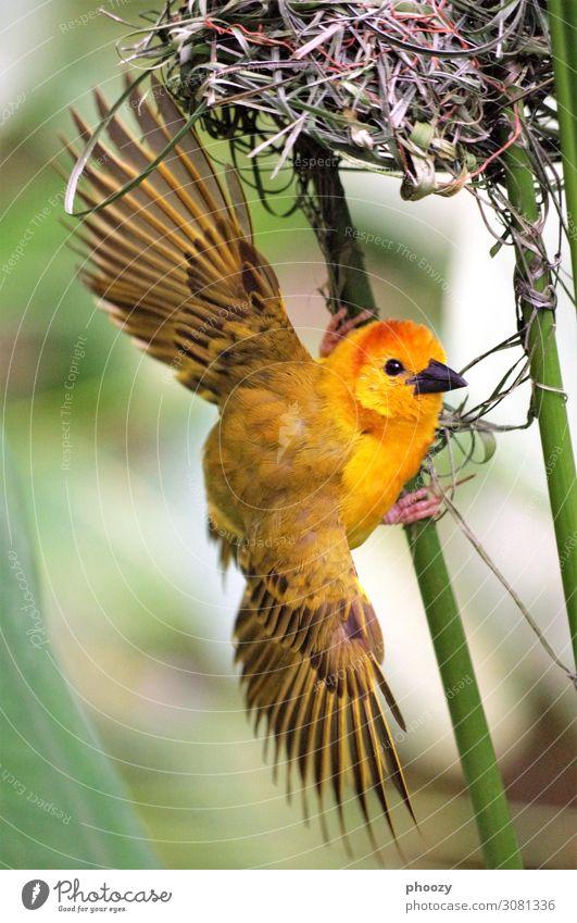 Webervogel Urwald Tier Wildtier Vogel Zoo 1 exotisch natürlich Erotik gelb orange Farbfoto Außenaufnahme Menschenleer Tag Tierporträt