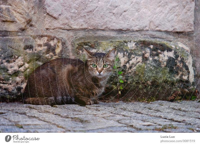 Grüne Augen oder die Jägerin... Katze grün Tier Straße Wand Wege & Pfade Mauer braun sitzen Haustier Mut Jagd Kleinstadt