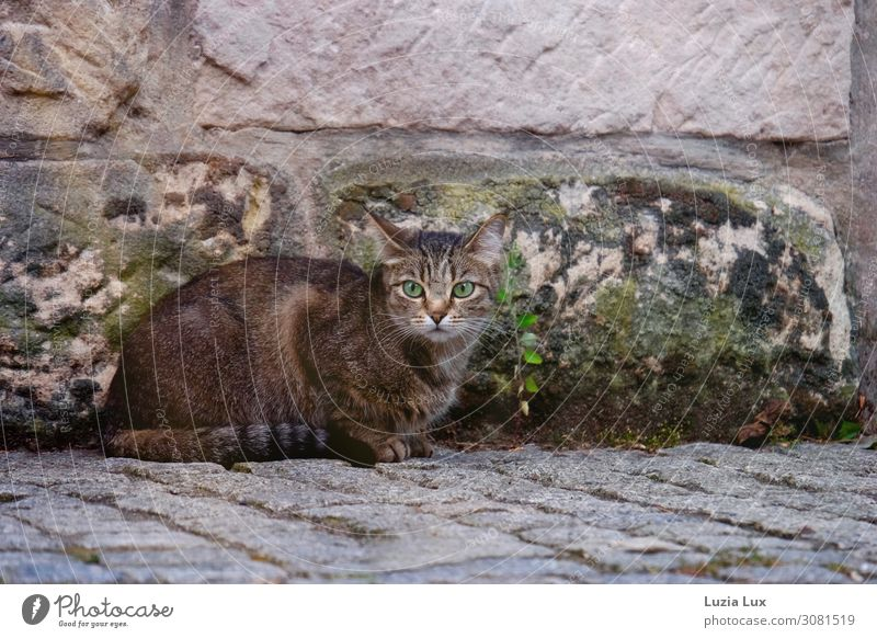 Grüne Augen oder die Jägerin... Kleinstadt Mauer Wand Straße Wege & Pfade Tier Haustier Katze 1 Jagd sitzen braun grün Mut grüne Augen auf der Lauer