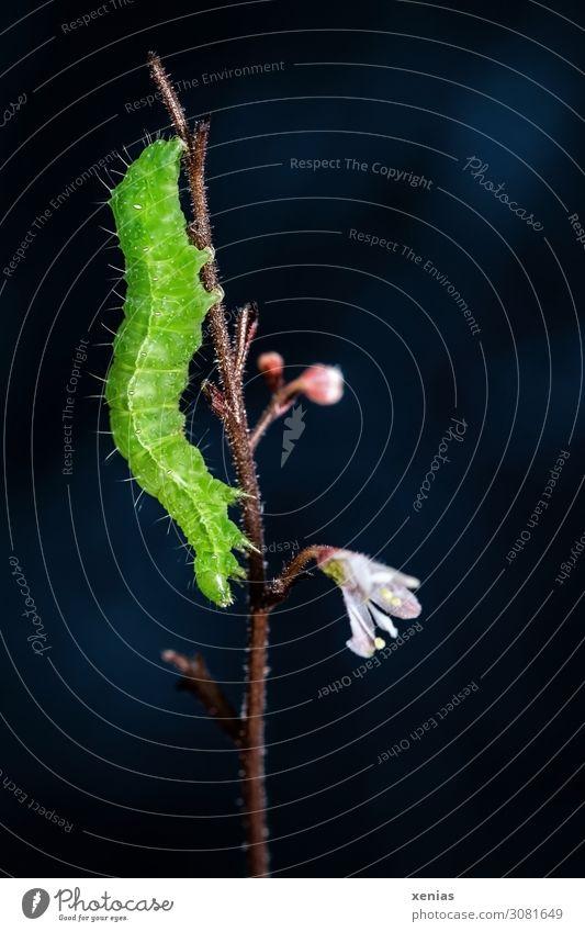 Kopf siehe unten - grüne Raupe hängt an einem Ast vor dunklem Hintergrund Natur Tier Pflanze Blüte Stengel Wildtier 1 Fressen rosa schwarz Nahaufnahme