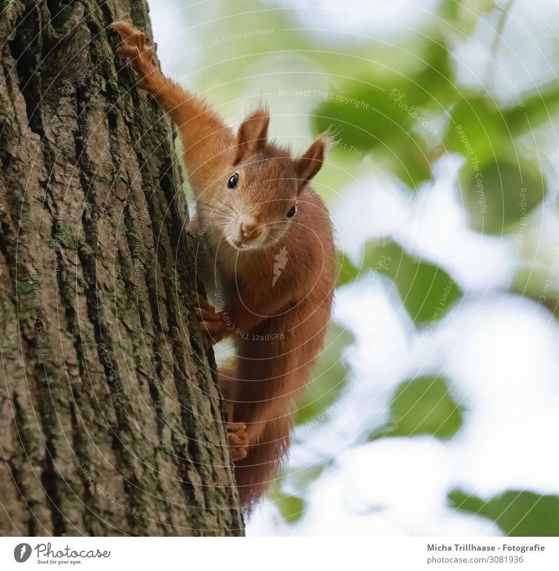Neugieriges Eichhörnchen am Baumstamm Natur Tier Himmel Sonnenlicht Schönes Wetter Blatt Wildtier Tiergesicht Fell Krallen Nagetiere Kopf Auge Nase Ohr Maul 1