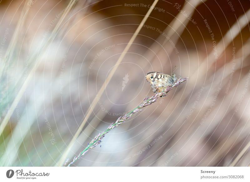Startsequenz eingeleitet Natur Tier Sommer Pflanze Gras Wiese Schmetterling 1 sitzen frei klein braun gelb Warmherzigkeit Gelassenheit ruhig Selbstbeherrschung