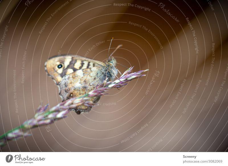 Ruhepunkt Natur Tier Sommer Pflanze Gras Wiese Schmetterling 1 sitzen frei klein braun gelb Warmherzigkeit Gelassenheit ruhig Selbstbeherrschung Erholung
