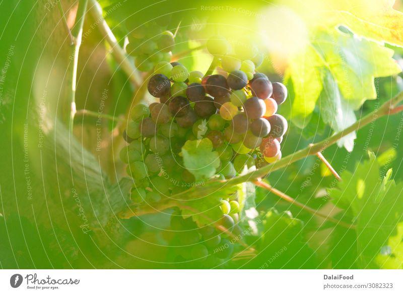 Trauben im Bioweinberg Frucht Ernährung Natur Landschaft Pflanze Herbst Tropfen Wachstum frisch saftig grün Tradition Ackerbau Hintergrund Beeren Ast Haufen