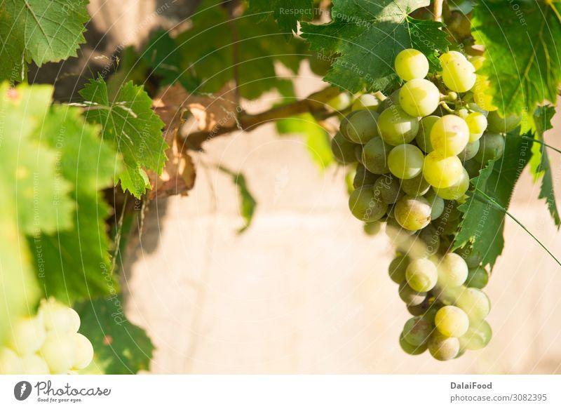 Weinberge bei Sonnenuntergang. Reife Trauben im Herbst. Frucht Sommer Natur Landschaft Wachstum frisch blau grün rot Tradition Ackerbau Hintergrund Haufen