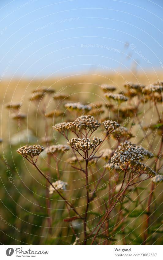 Sommer Natur Landschaft Pflanze Urelemente warten elegant braun Akzeptanz Vertrauen Sicherheit friedlich Güte geheimnisvoll trocken Wiese Gewöhnliche Schafgarbe