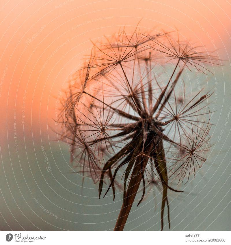 Schirmchen im Abendlicht Umwelt Natur Pflanze Himmel Sonnenaufgang Sonnenuntergang Sommer Blüte Wildpflanze Samen Wiesen-Bocksbart Feld ästhetisch Stimmung