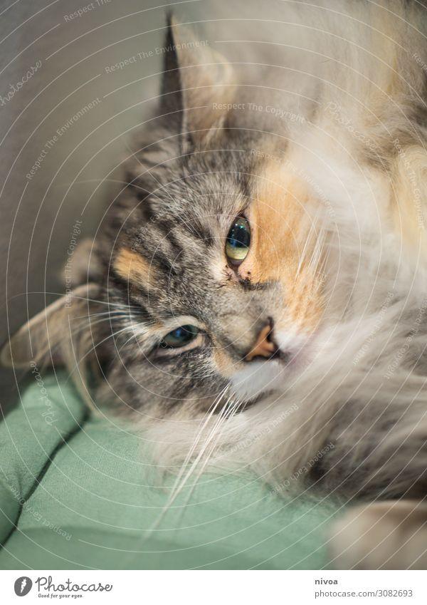 Norwegische Waildkatze Wohnung Tier Katze Tiergesicht Fell Pfote 1 beobachten genießen hängen liegen frech frei Freundlichkeit frisch Gesundheit Glück Neugier