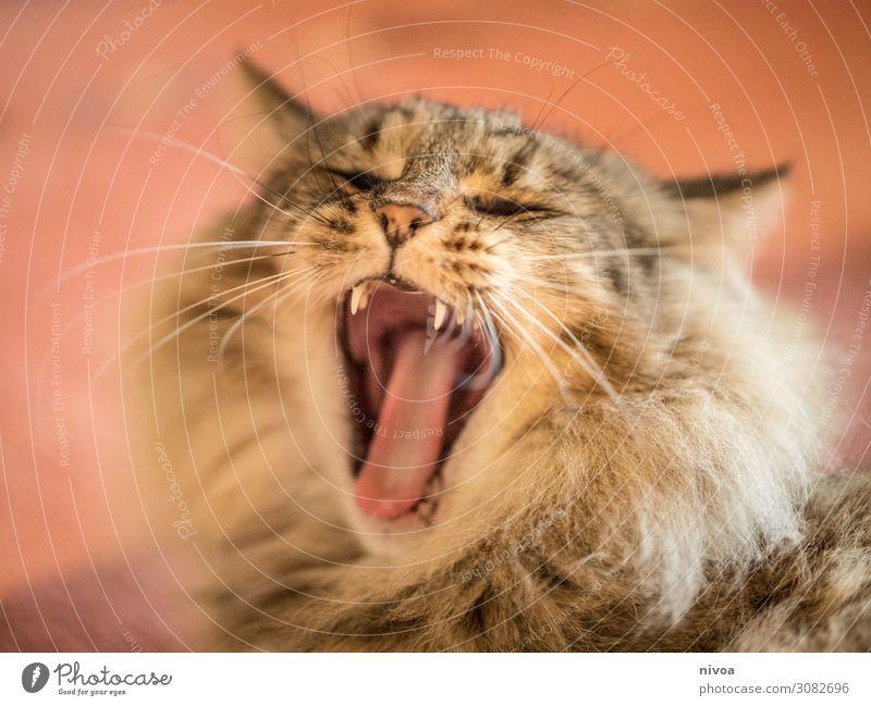 Gähnende Katze schön Freizeit & Hobby Spielen Haus Teppich Tier Haustier Tiergesicht Norwegische waldkatze Katzenzunge 1 genießen liegen schlafen frech
