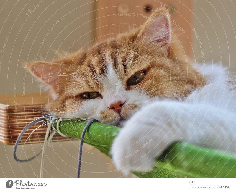 Fellnase Tier Haustier Katze 1 genießen schlafen authentisch außergewöhnlich Coolness Glück schön einzigartig kuschlig weich braun grün weiß Fröhlichkeit