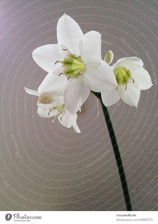 Flower Natur Pflanze Blume Leben Blüte Traurigkeit Stil Geschenk Trauer Blumenstrauß exotisch Duft Treue Frühlingsgefühle edel Grünpflanze
