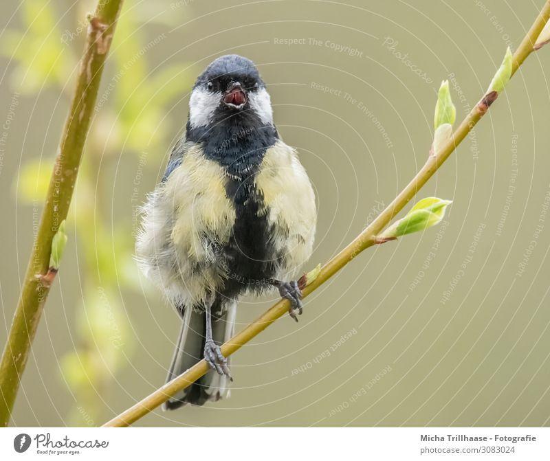 Singende Kohlmeise auf einem Zweig Natur Tier Sonnenlicht Schönes Wetter Sträucher Blatt Zweige u. Äste Wildtier Vogel Tiergesicht Flügel Krallen Meisen Kopf
