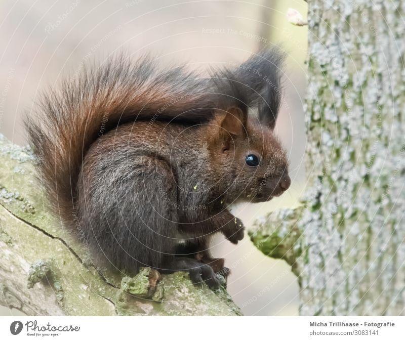 Junges Eichhörnchen entdeckt die Welt Natur Tier Sonnenlicht Schönes Wetter Baum Wald Wildtier Tiergesicht Fell Krallen Pfote Kopf Auge Nase Ohr Schwanz 1