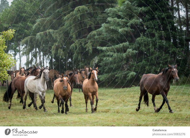 Frei Reiten Natur Landschaft Pflanze Tier Sommer schlechtes Wetter Baum Gras Sträucher Park Wiese Pferd Herde Bewegung laufen Zusammensein stark braun grau grün