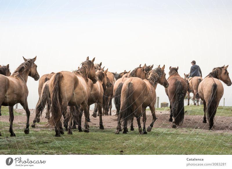 Die Pferdeherde folgt dem jungen Reiter auf die Weide Himmel Tierhaltung Nutztier Landwirtschaft Freilandhaltung Pflanze Gras Natur Sommer Grün Blau Braun