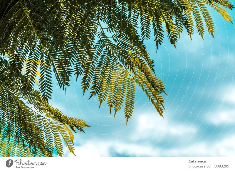 Fein gefiedert Natur Pflanze Himmel Wolken Sommer Schönes Wetter Baum Blatt Jacaranda Trompetenbaumgewächse Garten Urwald hängen Wachstum schön einzigartig blau