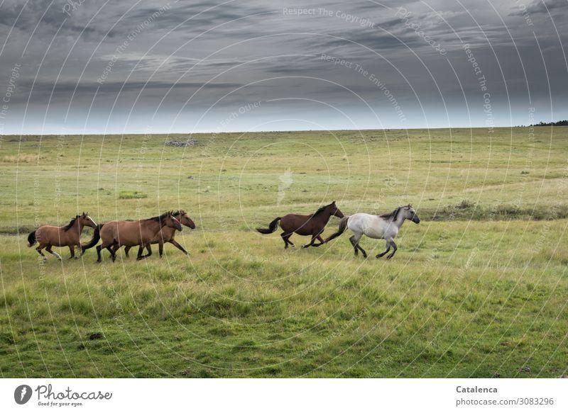 Frei Landschaft Pflanze Tier Himmel Wolken Sommer schlechtes Wetter Gras Wiese Pampa Steppe Weide Pferd Schimmel Rappe Tiergruppe Herde laufen sportlich