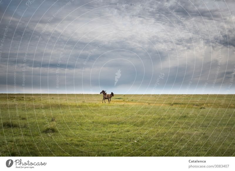 Auf Abstand Natur Landschaft Pflanze Tier Himmel Wolken Horizont Sommer schlechtes Wetter Gras Wiese Pampa Weide Steppe Nutztier Pferd 1 Bewegung laufen