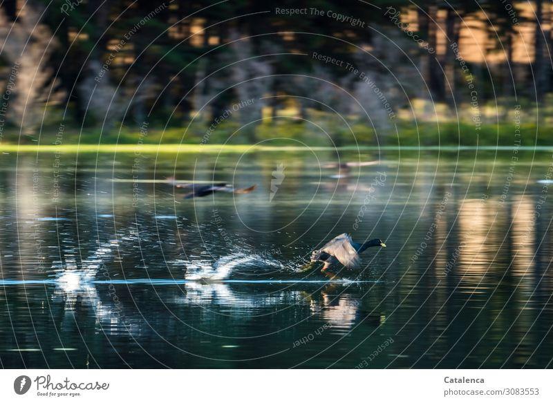 Schnell Natur Landschaft Pflanze Tier Wasser Wassertropfen Sommer Schönes Wetter Baum Gras Wasserpflanze Wald Seeufer Wildtier Vogel Blässhuhn 2 fliegen rennen