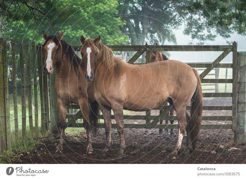 Drei Pferde auf der Koppel schauen erwartungsvoll in die Kamera Natur Flora Fauna Tier Nutztier beobachten stehen Blesse Pferdekoppel Zaun Tor Gatter Pflanze