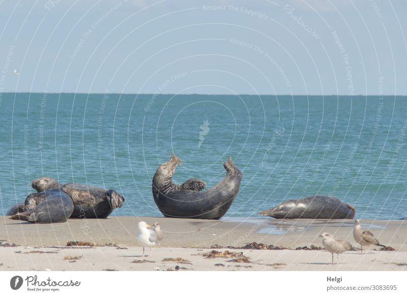 chillende Kegelrobben ... Natur Sommer blau Wasser Landschaft Tier ruhig Strand Leben Umwelt natürlich außergewöhnlich Freiheit Vogel braun grau